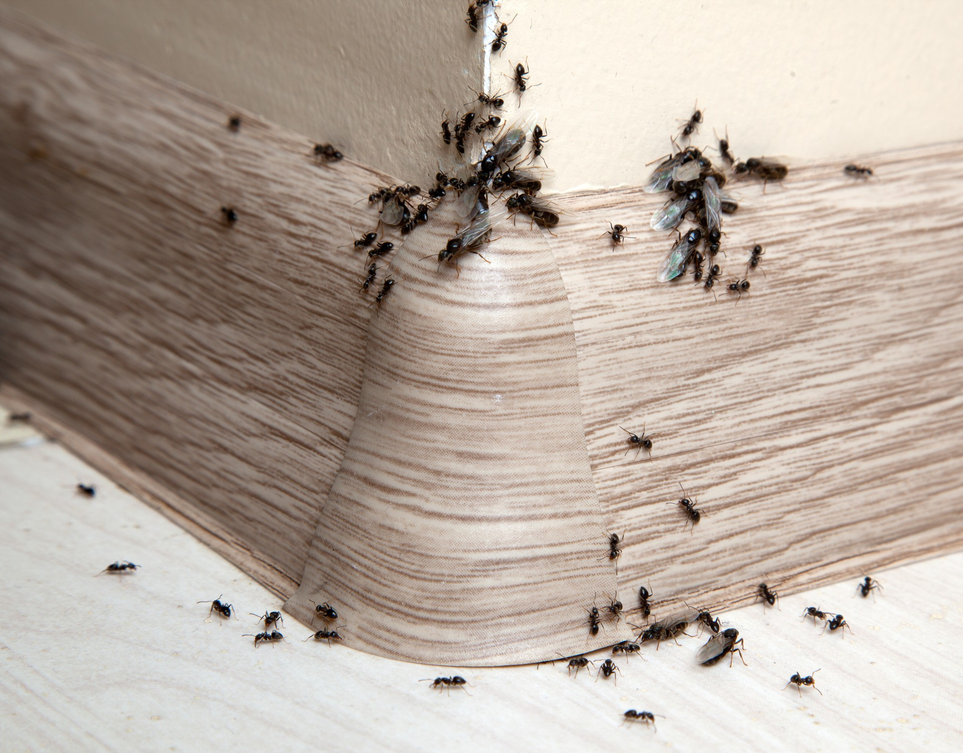 Ant Infestation, Pest Control in Sydenham, SE26. Call Now 020 8166 9746