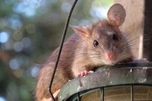 Rat Control, Pest Control in Sydenham, SE26. Call Now 020 8166 9746