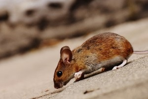 Mice Control, Pest Control in Sydenham, SE26. Call Now 020 8166 9746